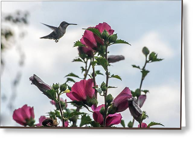 Althea Greeting Cards - Hummingbird with Rose of Sharon Greeting Card by Photographic Arts And Design Studio