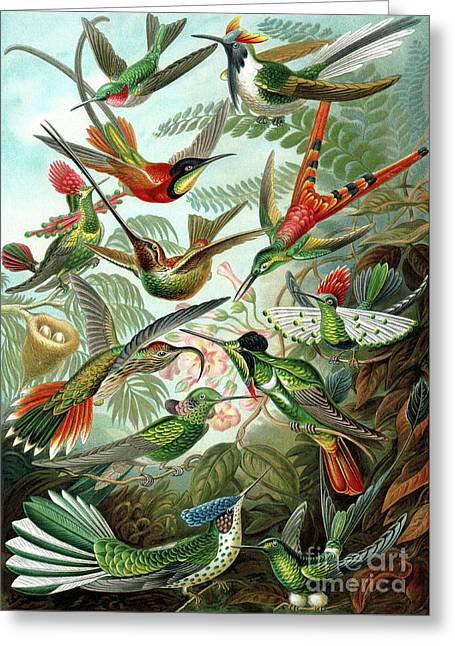 Hummingbirds Greeting Card by Ernst Haeckel