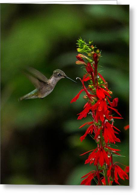 Biology Greeting Cards - Hummingbirds love red Greeting Card by Alicia Collins