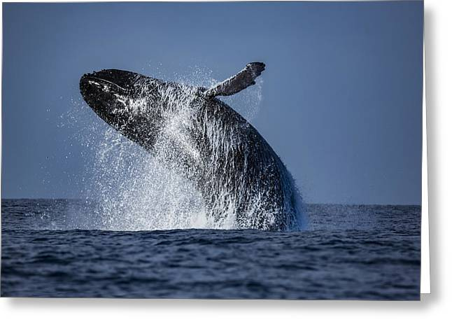 Plankton Greeting Cards - Humpback Hello Greeting Card by Janet Ballard