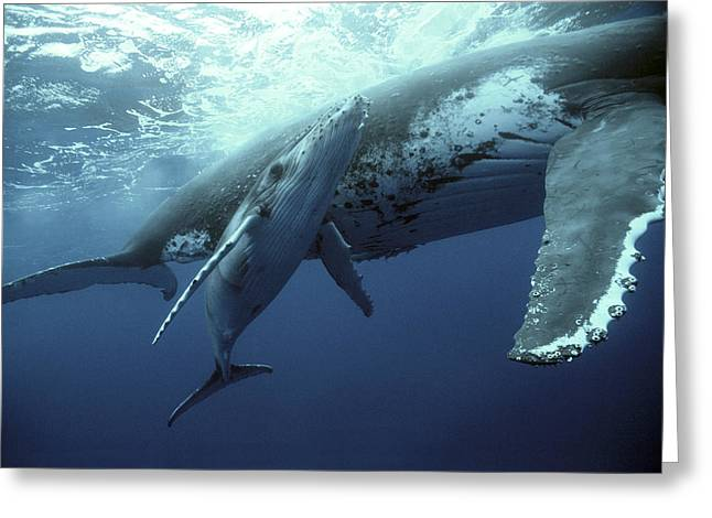 Tonga Greeting Cards - Humpback Whale and Calf Greeting Card by Mike Parry