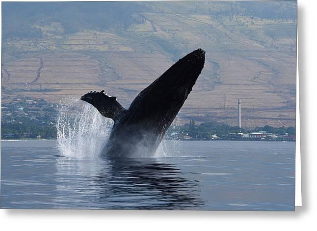 Humpback Whale Breach Greeting Card by Jennifer Ancker