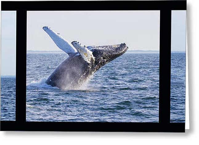 Ocean Mammals Greeting Cards - Humpback Whale Breaching Greeting Card by Mircea Costina Photography