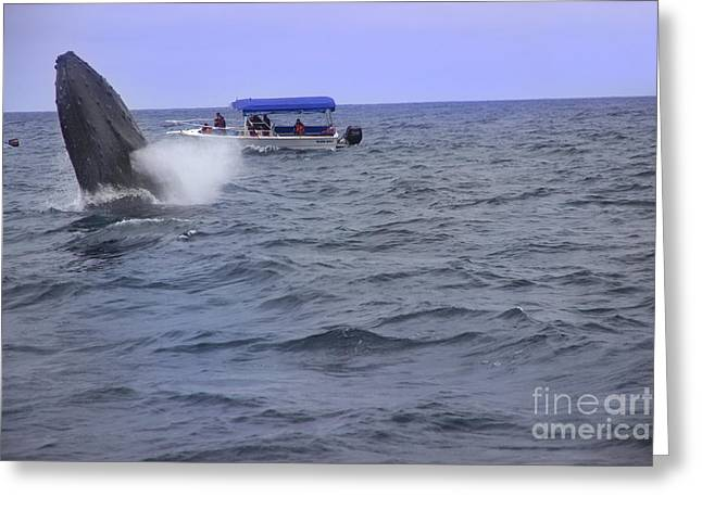 Blows Air Greeting Cards - Humpback Whale Breaching Near Puerto Lopez - Ecuador V Greeting Card by Al Bourassa