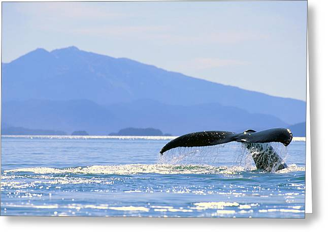 Cetaceans Greeting Cards - Humpback Whale Flukes Greeting Card by John Hyde - Printscapes
