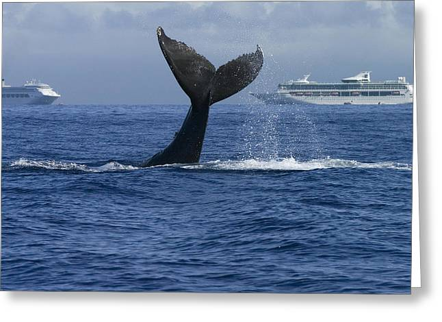 Cetaceans Greeting Cards - Humpback Whale Tail Lobbing Near Cruise Greeting Card by Flip Nicklin