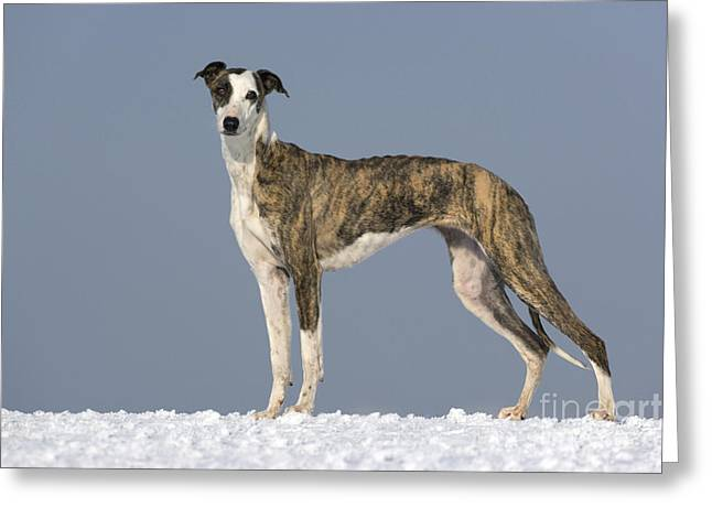 Dog In Snow Greeting Cards - Hungarian Greyhound Greeting Card by Jean-Louis Klein & Marie-Luce Hubert