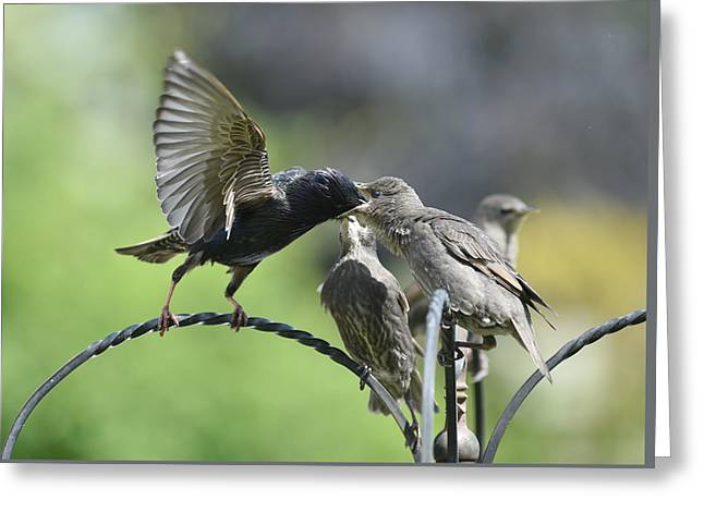 Hungry Baby Starlings Greeting Card by Simon Dack