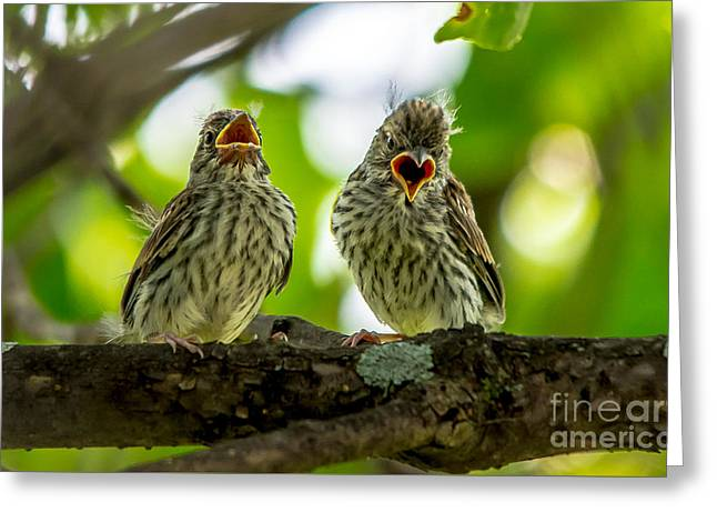 Hungry Chicks Greeting Cards - Hungry Chipping Sparrow Fledglings Greeting Card by Cheryl Baxter
