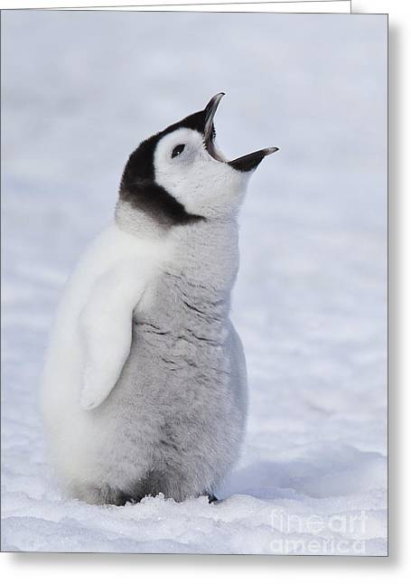 Hungry Emperor Penguin Chick Greeting Card by Jean-Louis Klein & Marie-Luce Hubert