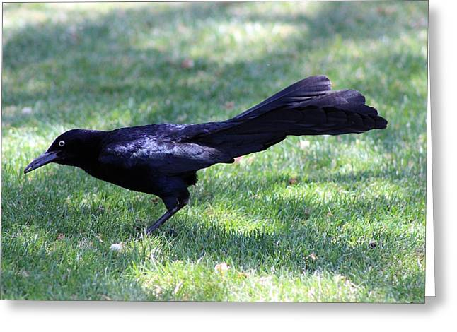 Hunting Bird Greeting Cards - Hungry Grackle Greeting Card by Adrienne Christian