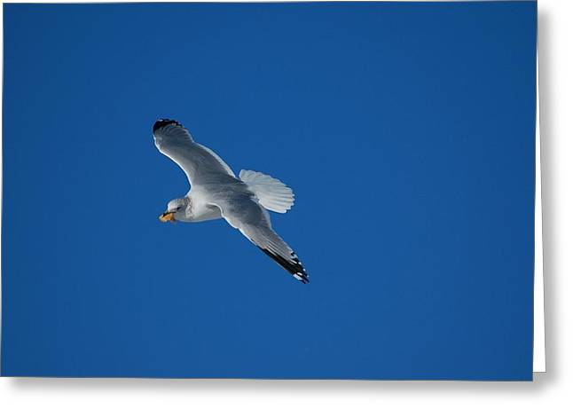 Seabirds Greeting Cards - Hungry Gull Greeting Card by Paul O