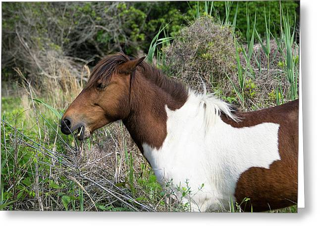 Fed Greeting Cards - Hungry Horse - Assateague Island - Maryland Greeting Card by Brendan Reals