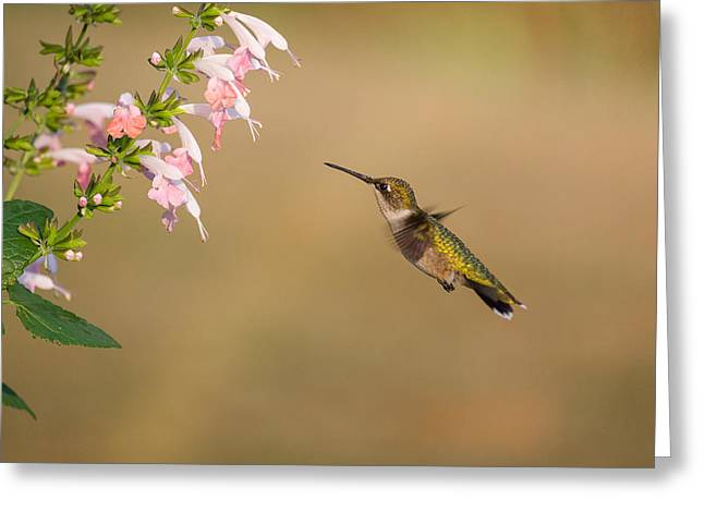 Hovering Greeting Cards - Hungry Hummingbird Greeting Card by Penny Meyers