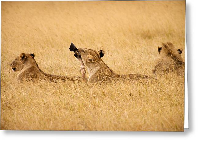 Zebra Eating Greeting Cards - Hungry Lions Greeting Card by Adam Romanowicz