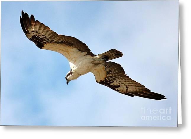 Hunter Osprey Greeting Card by Carol Groenen