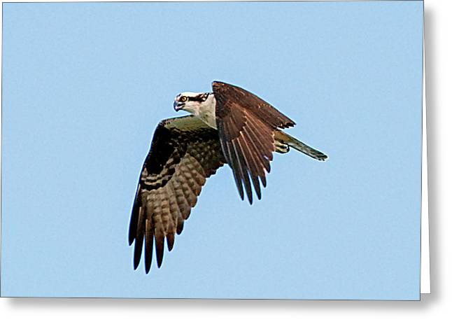 Hunting Bird Greeting Cards - Hunting Greeting Card by Kenneth Albin