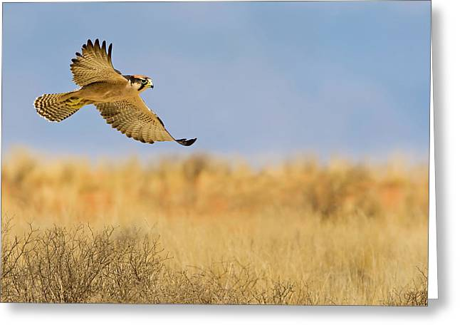 Falcon Hunting Greeting Cards - Hunting Lanner Falcon Greeting Card by Basie Van Zyl