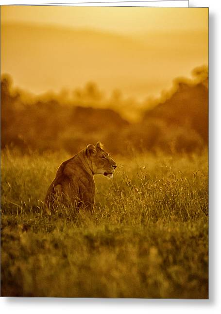 Lioness Greeting Cards - Hunt@Sunset Greeting Card by John Forrest