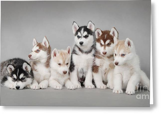 Recently Sold -  - Husky Greeting Cards - Husky dog puppies Greeting Card by Waldek Dabrowski