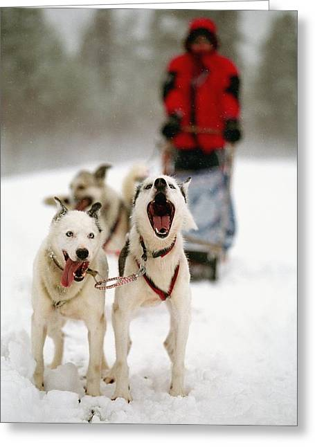 Sledge Photographs Greeting Cards - Husky Dog Racing Greeting Card by Axiom Photographic