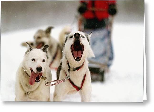 Husky Dog Racing Greeting Card by Axiom Photographic