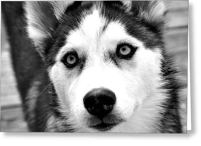 Husky Greeting Cards - Husky pup Greeting Card by Sumit Mehndiratta
