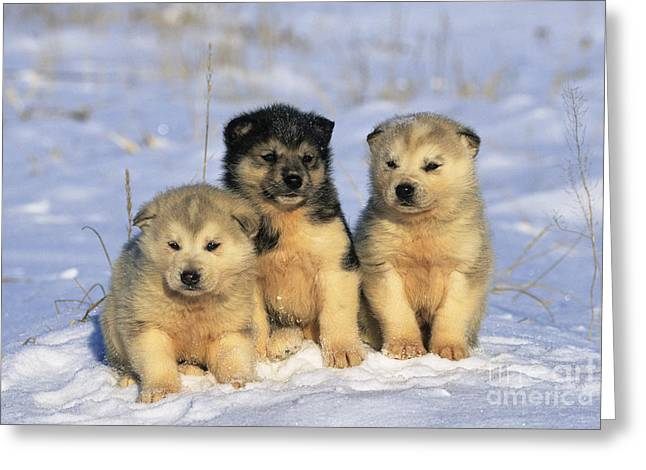 Dog In Snow Greeting Cards - Husky Puppies Greeting Card by Jean-Louis Klein & Marie-Luce Hubert
