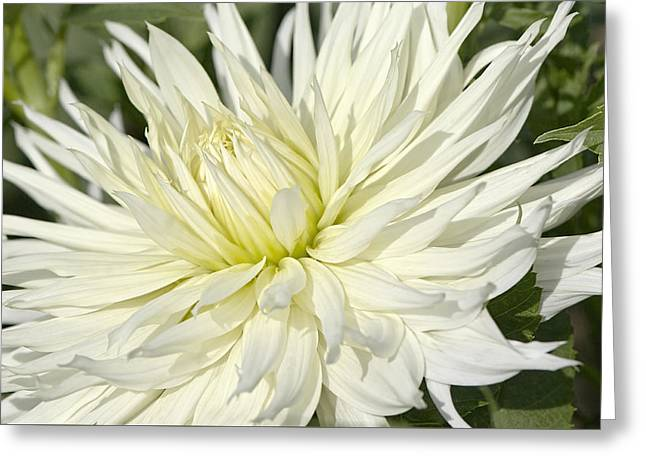 Dinner-plate Dahlia Greeting Cards - Hy Mom Dahlia Greeting Card by Sharon  Talson