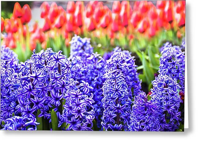 Tamyra Ayles Greeting Cards - Hyacinth in Bloom Greeting Card by Tamyra Ayles