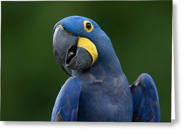 Hyacinth Macaw Greeting Cards - Hyacinth Macaw At The Omaha Zoo Greeting Card by Joel Sartore