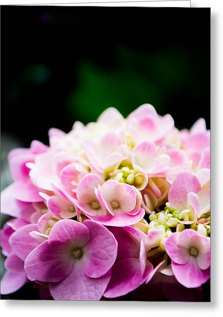 Pinks And Purple Petals Photographs Greeting Cards - Hydragea in Pink Greeting Card by Shelby  Young