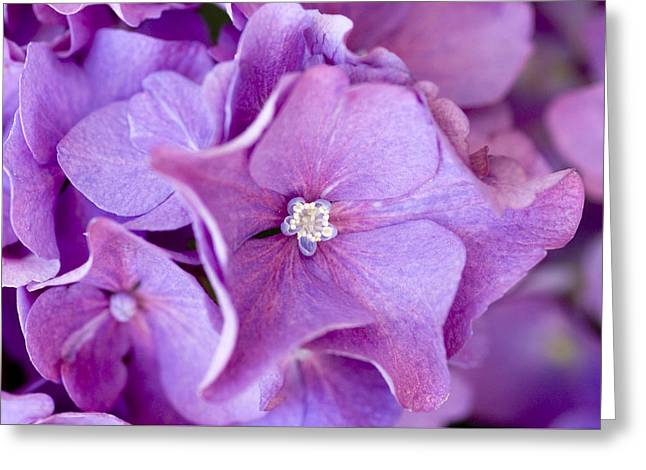 Purple Hydrangeas Greeting Cards - Hydrangea Greeting Card by Frank Tschakert