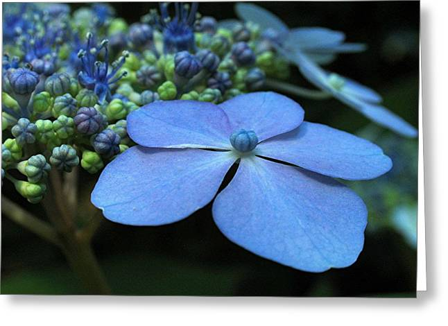 Purple Hydrangeas Greeting Cards - Hydrangea Greeting Card by Juergen Roth