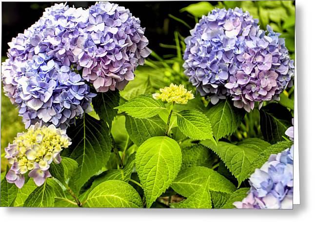 Popular Art Greeting Cards - Hydrangeas bush  Greeting Card by Geraldine Scull