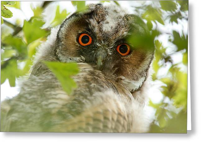 Hypnoteyes - Long-eared Owl Greeting Card by Roeselien Raimond