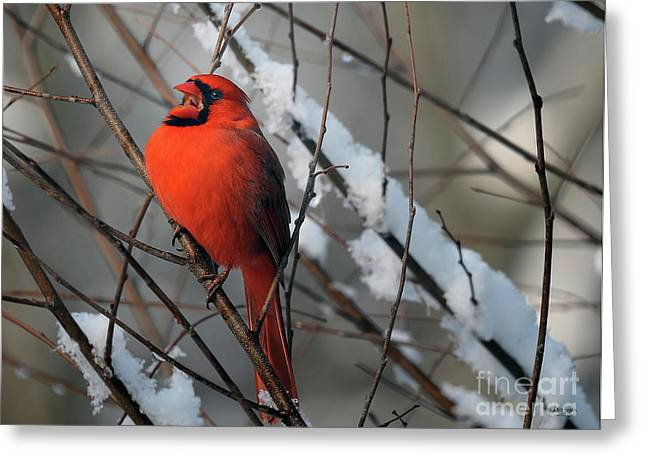 Red Bird In Snow Greeting Cards - I Am So Ready For Spring Greeting Card by Lois Bryan
