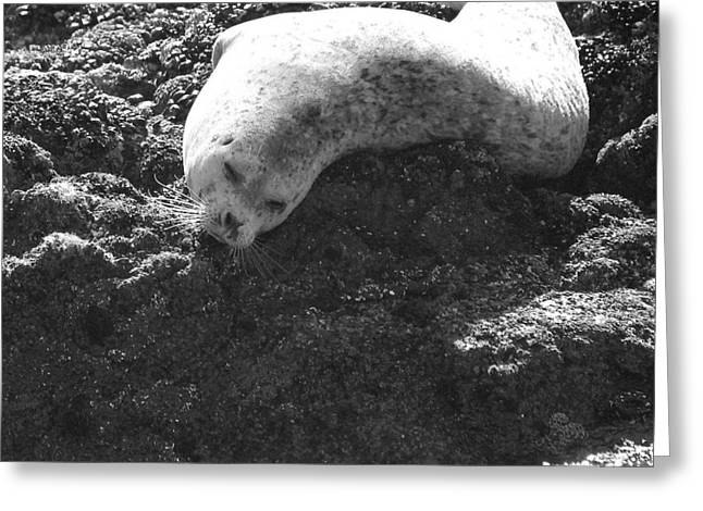Sea Lions Greeting Cards - I can sleep anywhere Greeting Card by Christine Patterson
