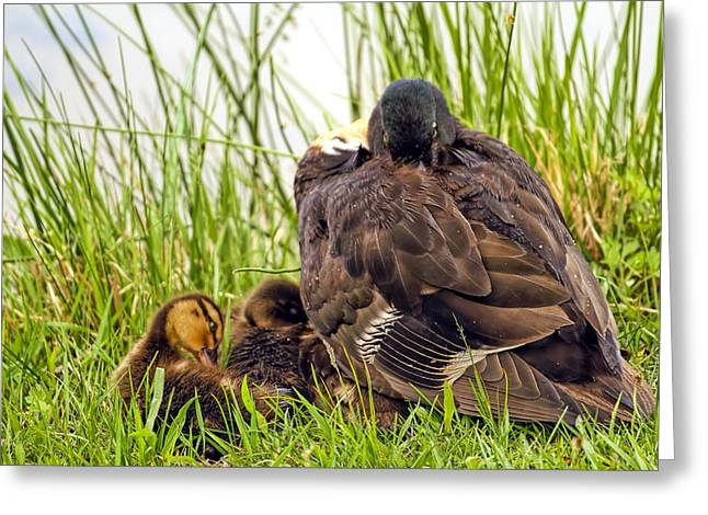 Water Fowl Greeting Cards - I look like I am sleeping but I have my eye on you  Greeting Card by Geraldine Scull
