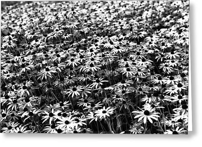 I See Greeting Cards - I See Daisies mono Greeting Card by John Rizzuto