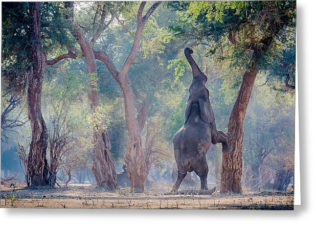 Zimbabwe Photographs Greeting Cards - I Wish I Was A Giraffe Greeting Card by Giovanni Casini