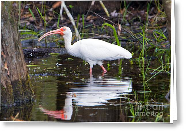 Ibis Drink Greeting Card by Mike Dawson