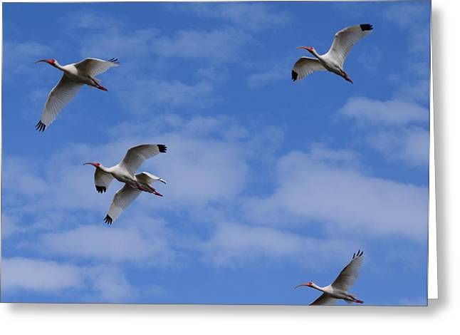 Landscape Framed Prints Greeting Cards - Ibis Flight 1 Greeting Card by Sheri McLeroy