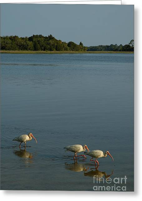 Ibis Morning Greeting Card by Kathi Shotwell