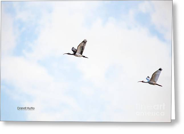 Flying Seagull Greeting Cards - Ibis on the Wing by Darrell Hutto Greeting Card by Darrell Hutto