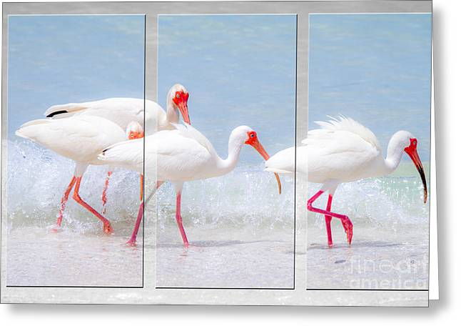 Water Fowl Greeting Cards - Ibis Triptych Image by Darrell Hutto Greeting Card by Darrell Hutto