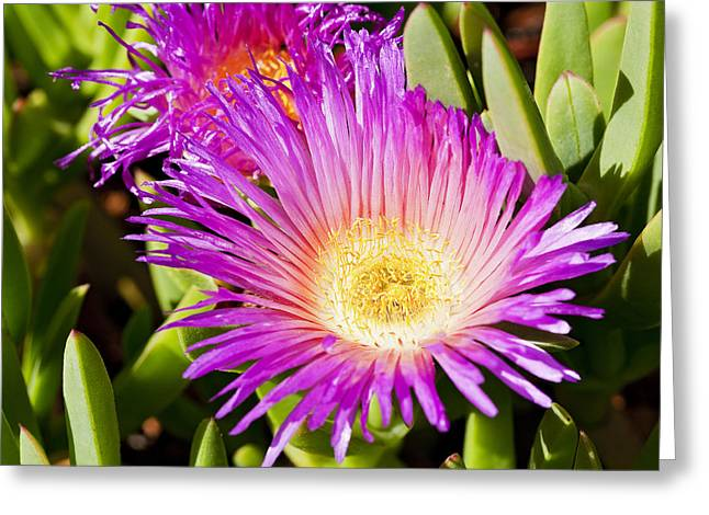 Ground Cover Greeting Cards - Ice Plant Blossom Greeting Card by Kelley King