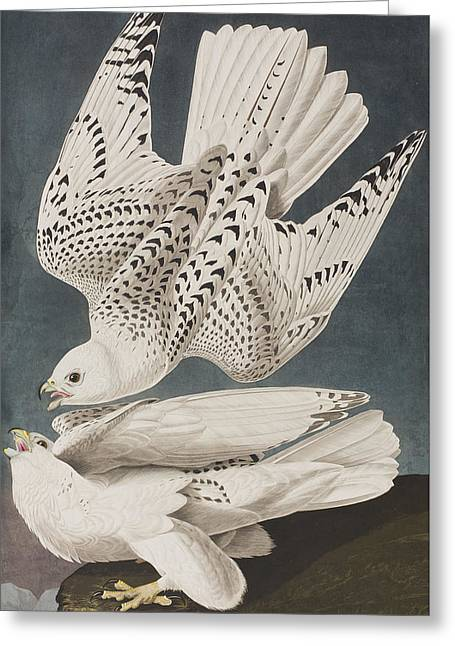 Flying Bird Drawings Greeting Cards - Iceland Falcon or Jer Falcon Greeting Card by John James Audubon