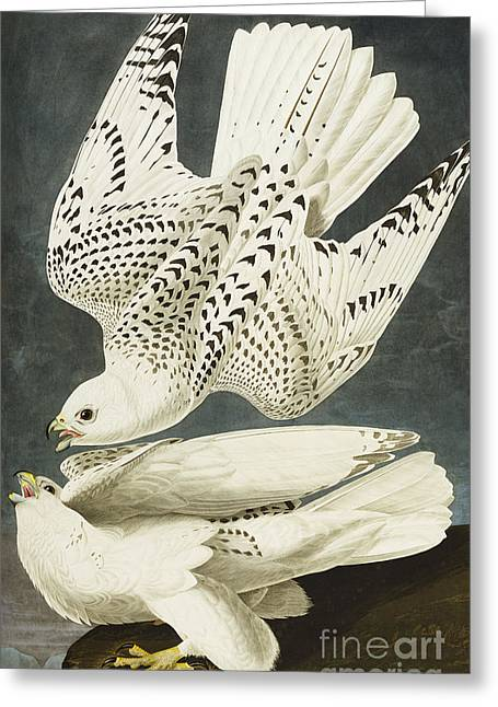 Bird; Hawk; Raptor; Pair; Mating; Cliff Greeting Cards - Iceland Or Jer Falcon Greeting Card by John James Audubon