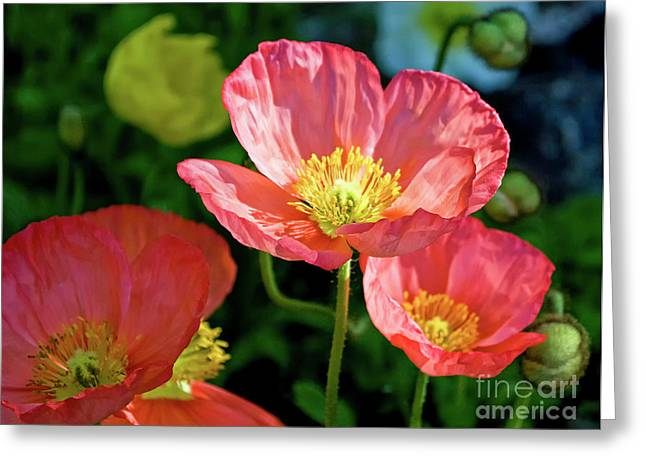 Angelini Greeting Cards - Iceland Poppies visit www.AngeliniPhoto.com for more Greeting Card by Mary Angelini
